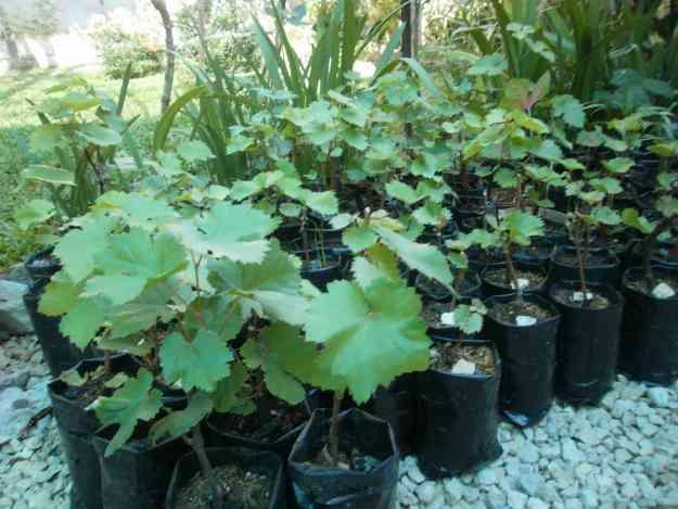 Matas de jardin sombra frutas para mesa salud for Matas de jardin